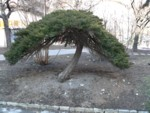 big bonsai k�p