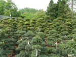 big bonsai erd�